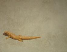 dag-gekko